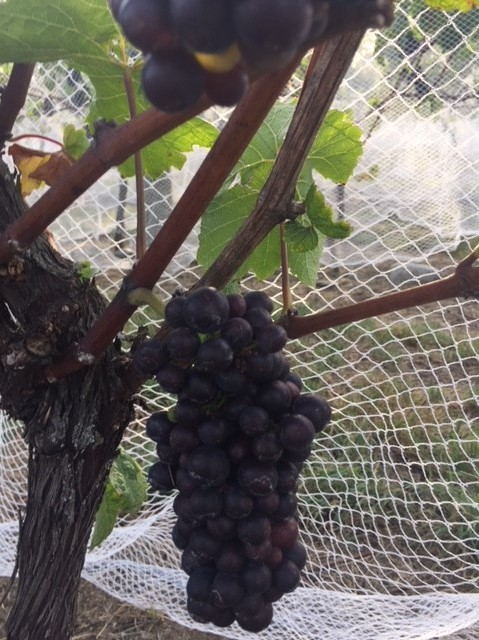 grapes under nets (2)