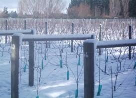 vineyard row snow