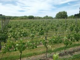 vineyard small vines