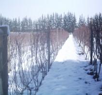 vineyard snow